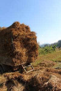 Collecting hay for the elephants at the Elephant Nature Park, Thailand