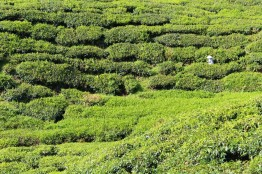 The tea plantations of the Cameron Highlands, Malaysia